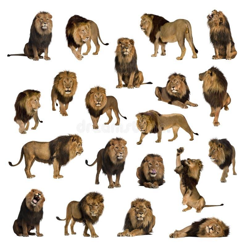 Große Sammlung des erwachsenen Löwes lokalisiert auf weißem Hintergrund stockbilder