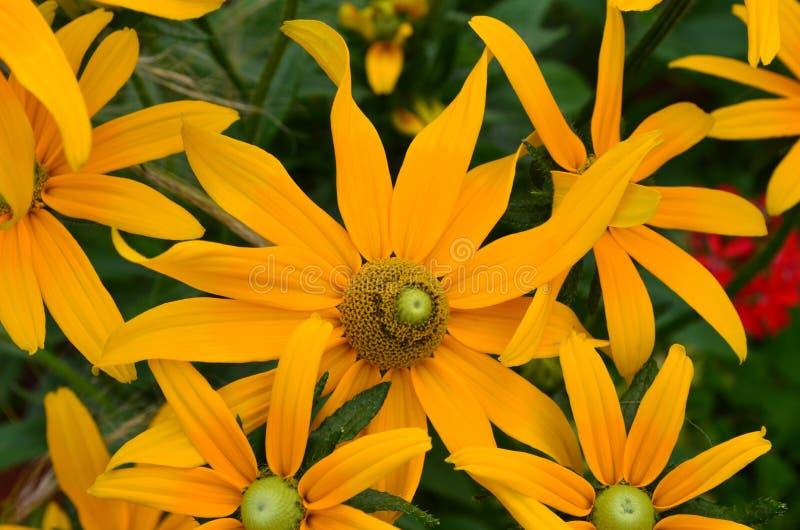 Große Sammlung gelber blühender Rudbeckia lizenzfreies stockfoto