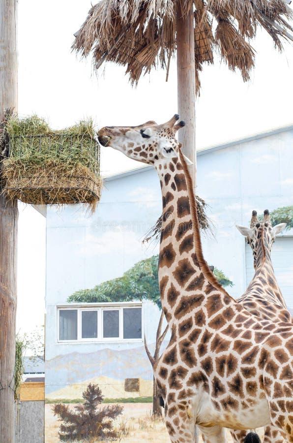 Große schöne Giraffe zwei, die Gras isst lizenzfreies stockfoto