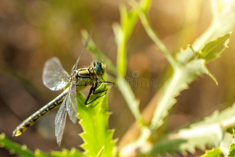 Große schöne grüne Libelle, die auf dem Gras sitzt lizenzfreie stockfotos
