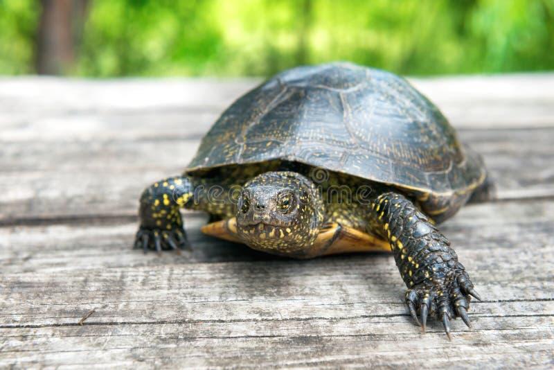 Große Schildkröte auf altem hölzernem Schreibtisch lizenzfreies stockfoto