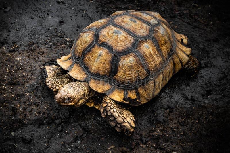 Große Schildkröte des Landes lizenzfreies stockfoto
