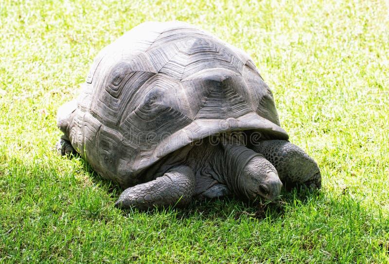 Große Schildkröte, die in das grüne Gras, Schönheit in der Natur einzieht lizenzfreies stockbild