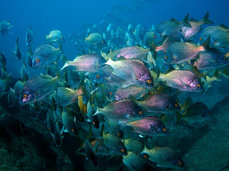 Große Schule von den Rotbarschen Unterwasser lizenzfreie stockbilder