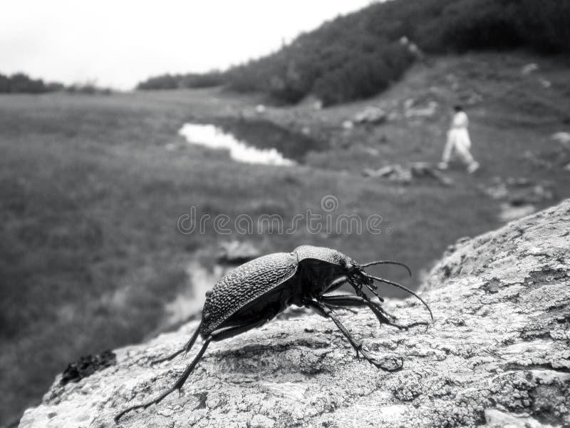 Große schwarze Wanze auf einem Stein in den Bergen lizenzfreie stockfotografie