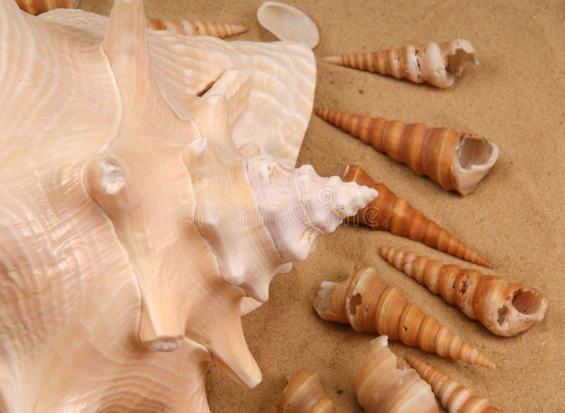 Große Seashells auf dem Sand stockfoto