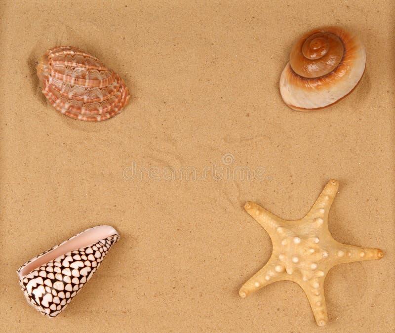 Große Seashells auf dem Sand stockbild