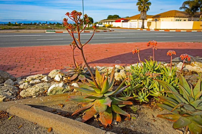 Große Seifen-Aloe mit den roten Blumenknospen lizenzfreie stockfotografie