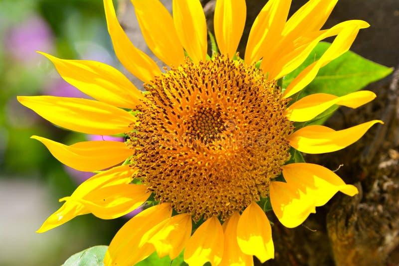 Große Sonnenblume lizenzfreie stockfotografie