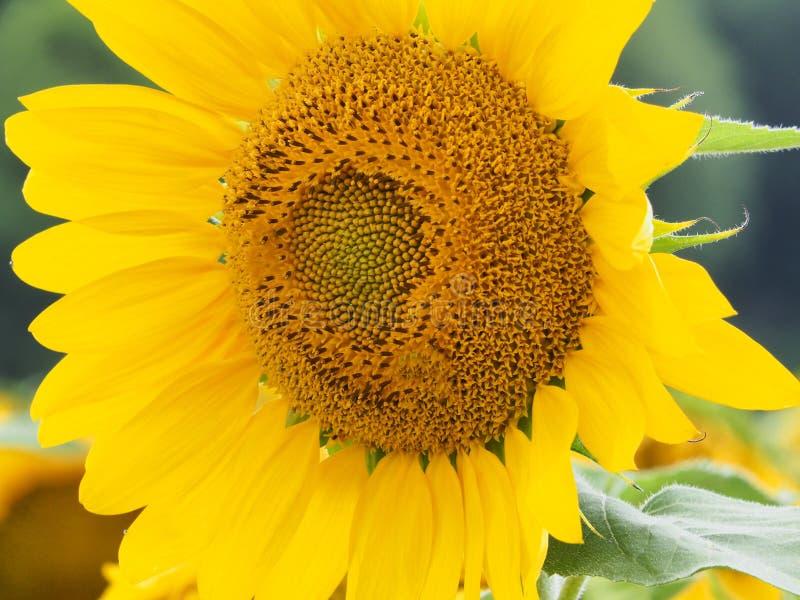 Große Sonnenblume lizenzfreies stockbild