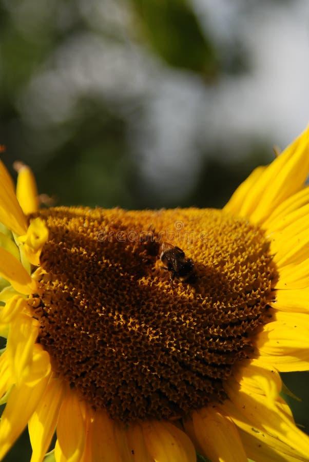 Große Sonnenblume die 1. lizenzfreies stockbild