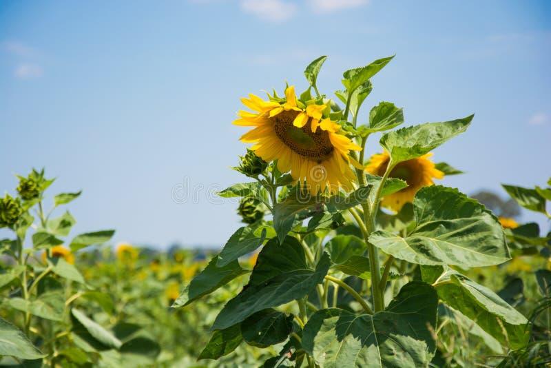 Große Sonnenblume, die auf einem Gebiet von Sonnenblumen hoch steht stockfoto