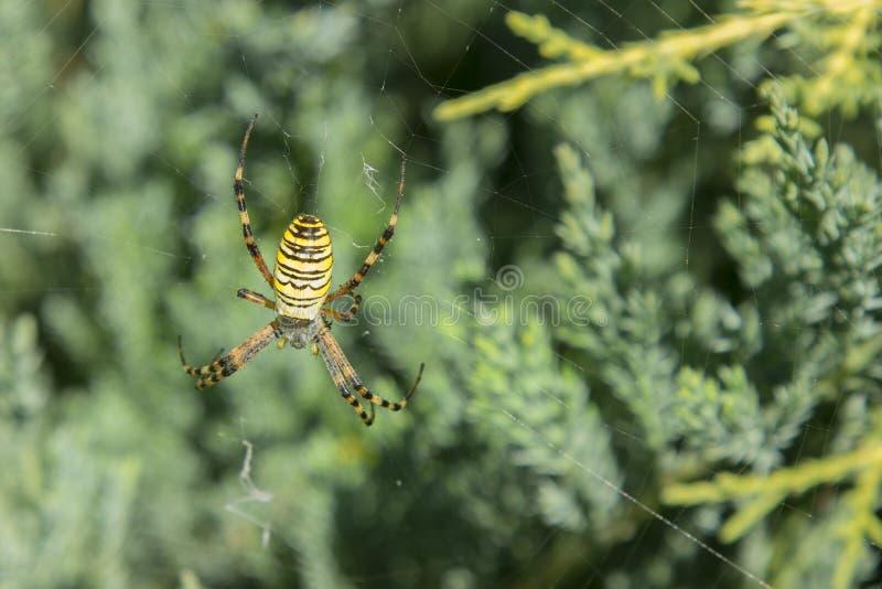 Große Spinne Allgemeines Schwarzes und Streichfettmais oder -Gartenkreuzspinne Argiope aurantia auf seinem Netz, das auf seinen O lizenzfreies stockfoto