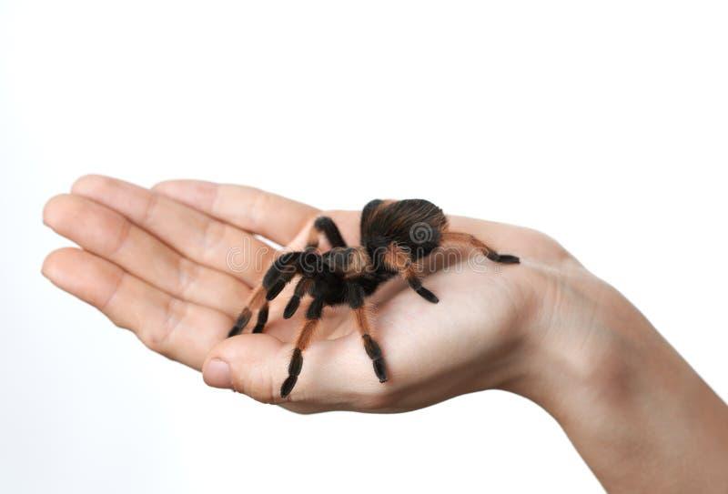 Große Spinne an Hand lizenzfreies stockbild