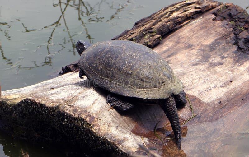 Große starke Schildkröte, die in dem Fluss auf Baum schläft stockfotos