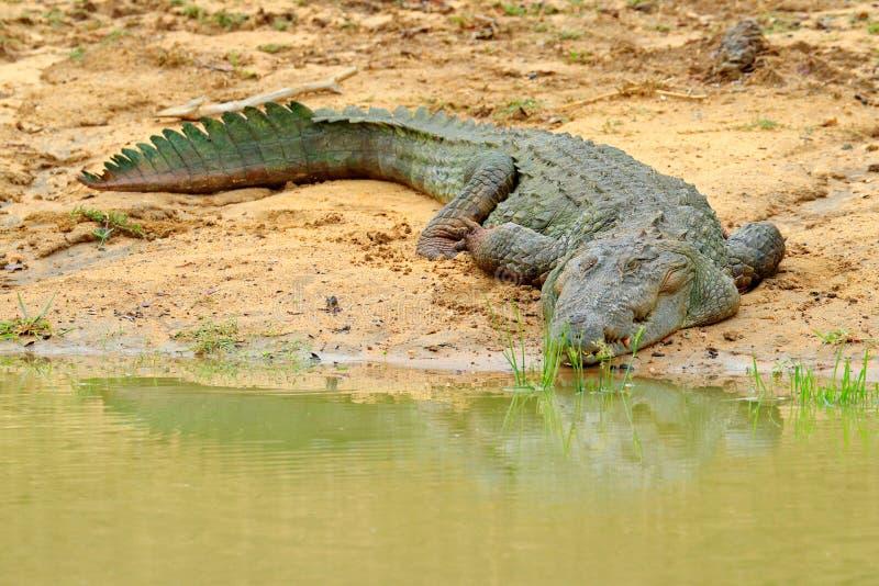 Große Sumpfkrokodil Crocodylus palustris, die auf dem Felsen im Fluss mit geöffnetem Mund sich entspannen Fluss im Vordergrund, g lizenzfreies stockfoto