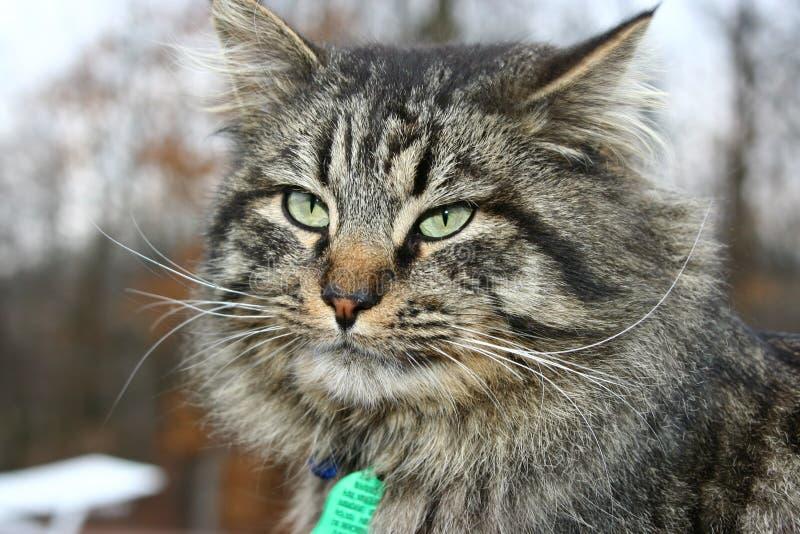 Große Tom-Katze lizenzfreie stockfotografie