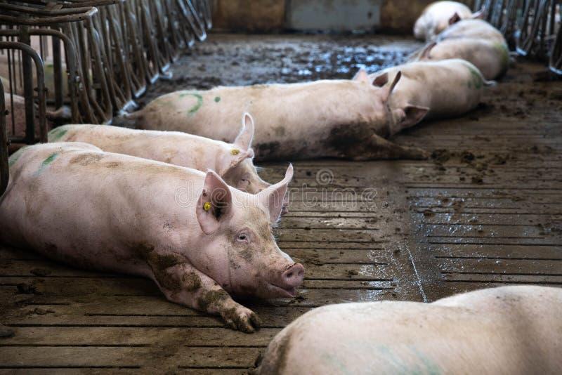 Große und fette Schweine in einem Schweinestall auf einem fPig Innen auf einem Bauernhofyard in Danmark Schweine im Stall Schließ lizenzfreie stockfotos