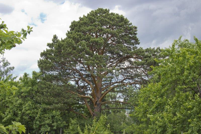 Große und hohe Kiefer zusammen mit anderen Bäumen an einem sonnigen Tag lizenzfreie stockfotografie