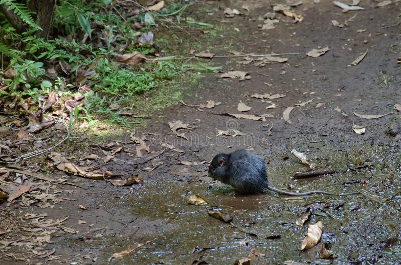 Große und wilde schwarze Ratte in der natürlichen Umwelt lizenzfreie stockfotografie
