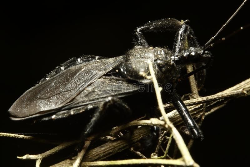 große wahre Wanze des Hemiptera alias lizenzfreies stockbild