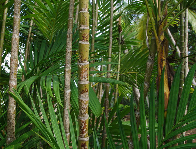 Große Waldbambusbäume lizenzfreies stockbild