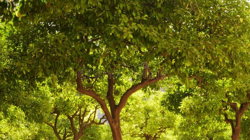 Große Waldung von sonnenbeschienen Orangenbäumen mit verdrehten Stämmen und Niederlassungen stockfotografie