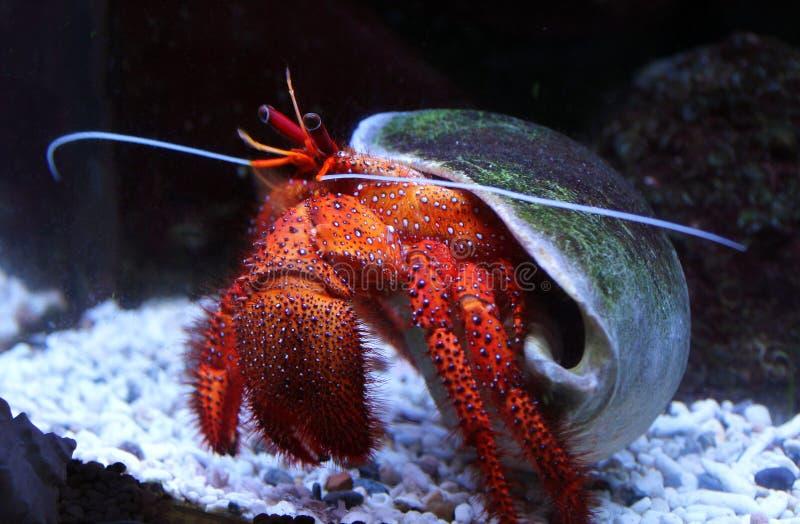 Große weiß-beschmutzte Einsiedlerkrebs Dardanus-megistos im Aquarium stockfoto