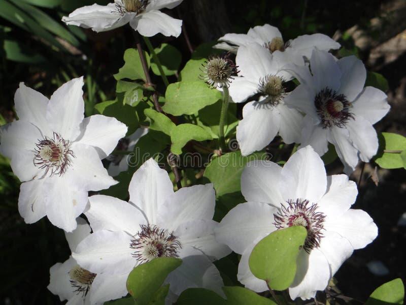 Große weiße Blumen von Klematis lizenzfreie stockfotos