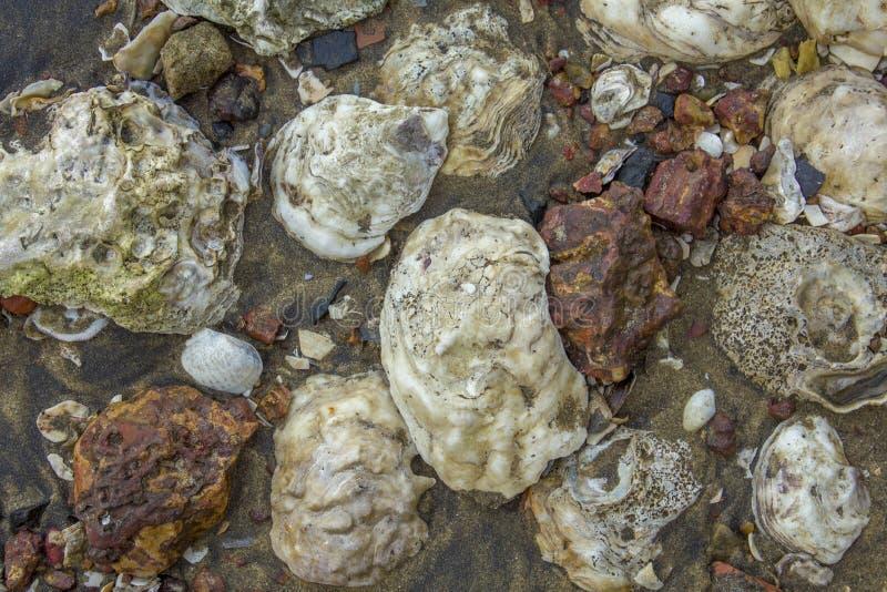 Große weiße Muscheln im dunklen Sand mit roter Steinnahaufnahme nat?rliche Oberfl?chenbeschaffenheit stockbilder