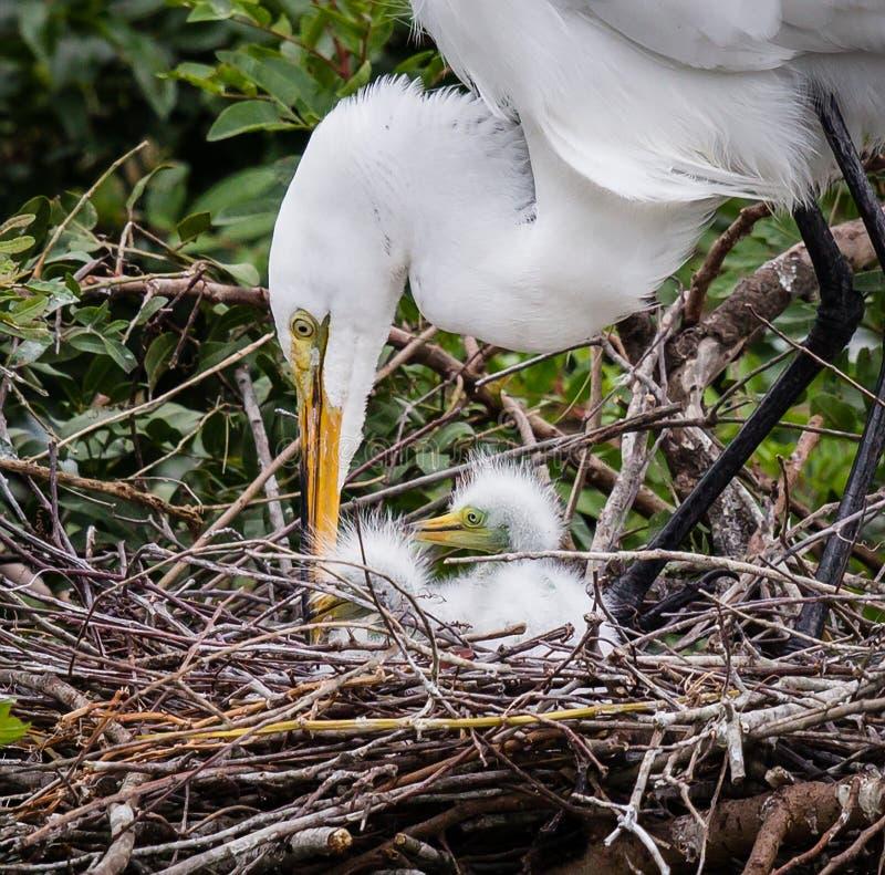 Große weiße Reihermutter neigt zu ihren Neugeborenen stockfoto