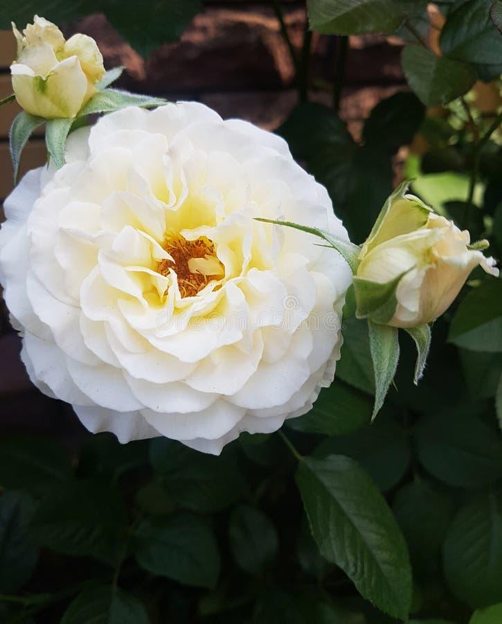 große weiße rosafarbene Blume auf der Seite auf einem grünen Gartenhintergrund stockfoto