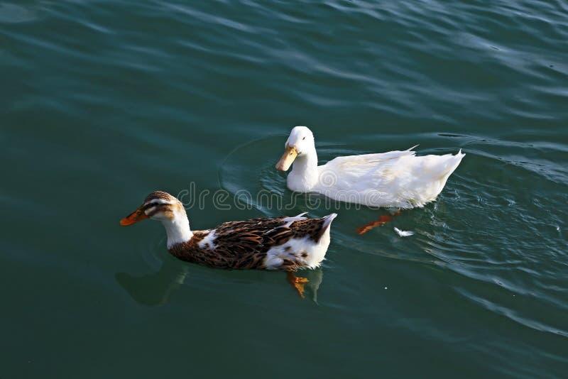 Große weiße und braune schwere Ente lizenzfreies stockbild