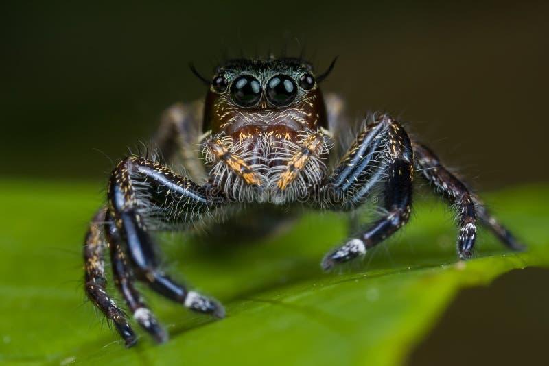 Große weibliche springende Spinne lizenzfreies stockbild