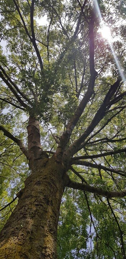 großem Baum mit der Sonne oben betrachten, die durch grüne Blätter scheint lizenzfreies stockbild