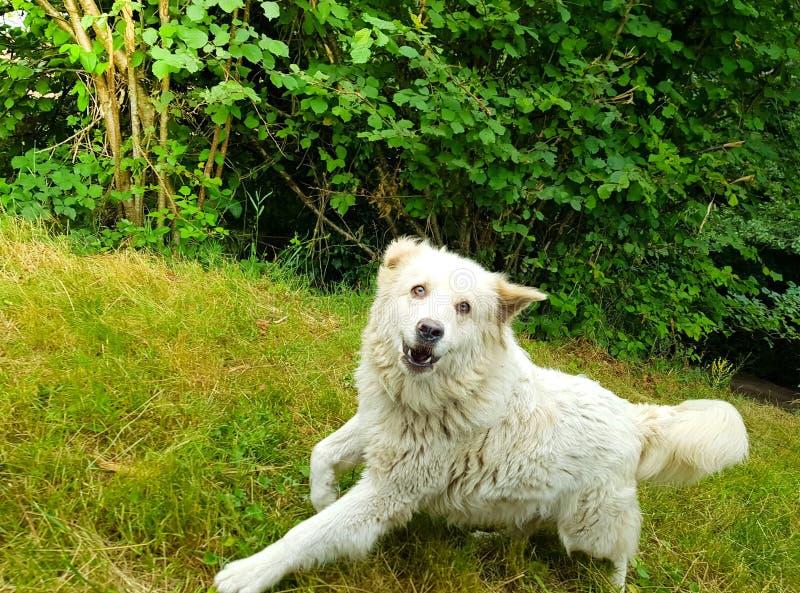 Großen netten große Pyrenäen-Hundezwinger stockfotos