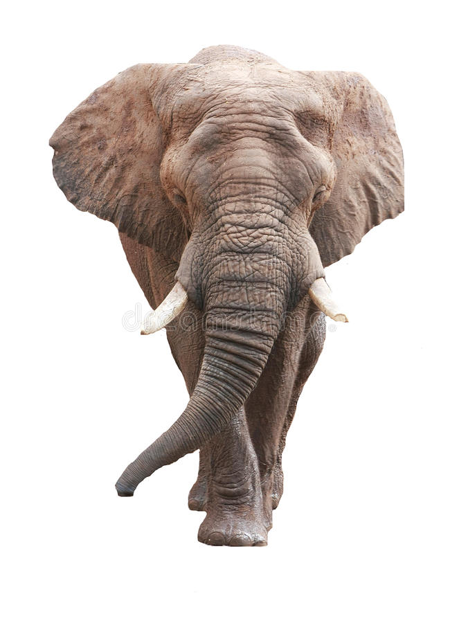 Großer afrikanischer Elefant über Weiß lizenzfreie stockfotografie