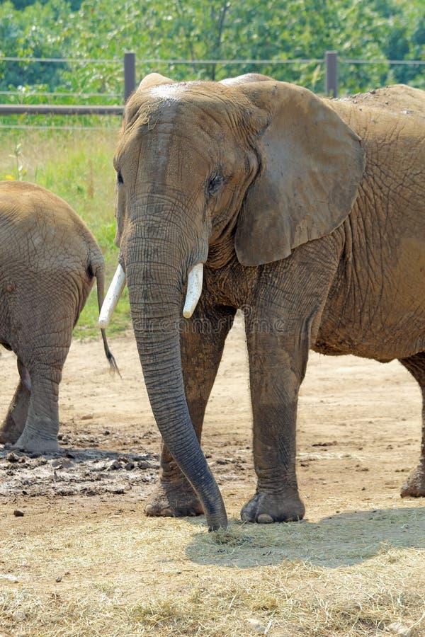 Großer afrikanischer Elefant an der Indianapolis-Zoovertikale stockfotos