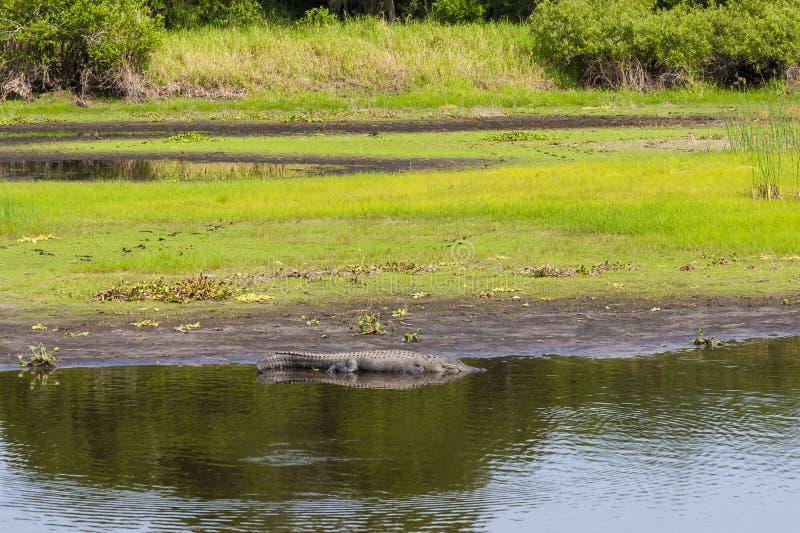 Großer Alligator, der nahe Florida-Sumpf stillsteht lizenzfreie stockbilder