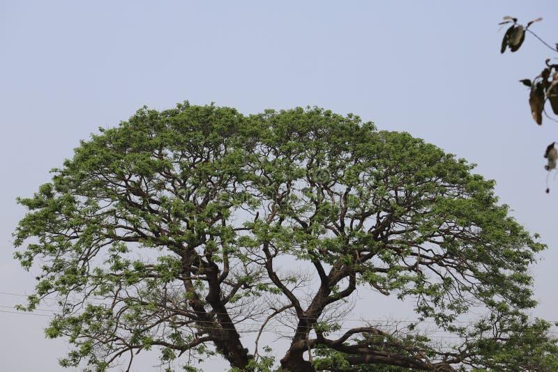 Großer alter Baum lizenzfreies stockfoto