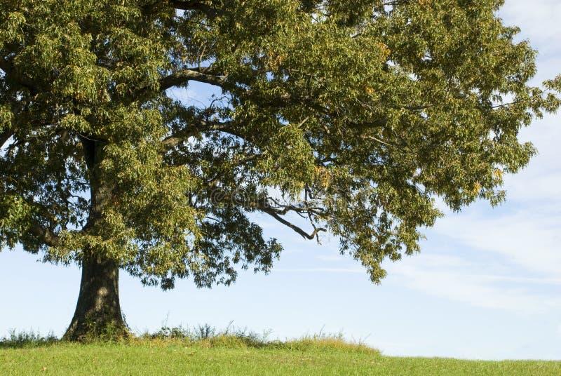Großer alter Eichen-Baum lizenzfreie stockfotografie