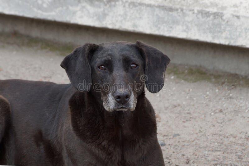 Großer alter schwarzer Hund steht auf der Straße durch die graue Wand lizenzfreie stockbilder