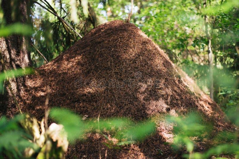 Großer Ameisenhügel auf einem Hintergrund von Bäumen stockbild