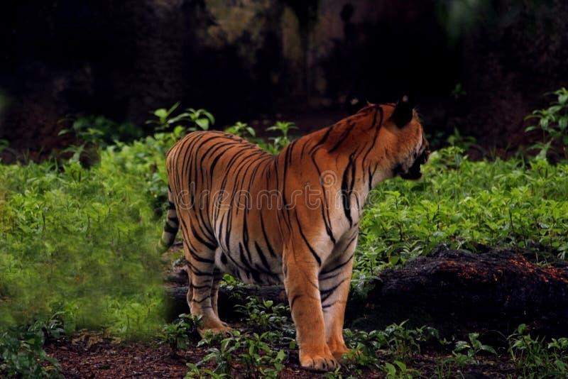 Großer asiatischer Tiger im zoologischen Park, Indien lizenzfreie stockbilder