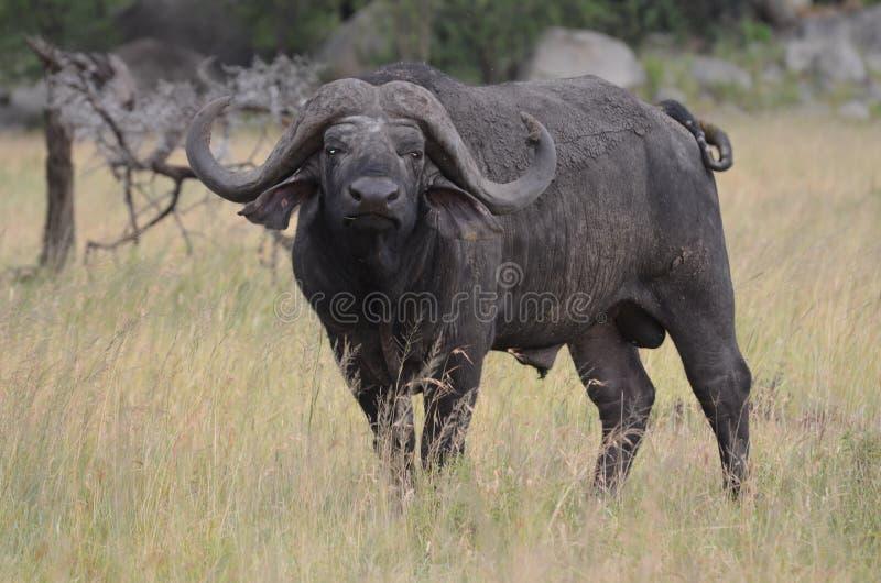Großer Büffel in serengeti Nationalpark in Tanzania lizenzfreie stockfotografie