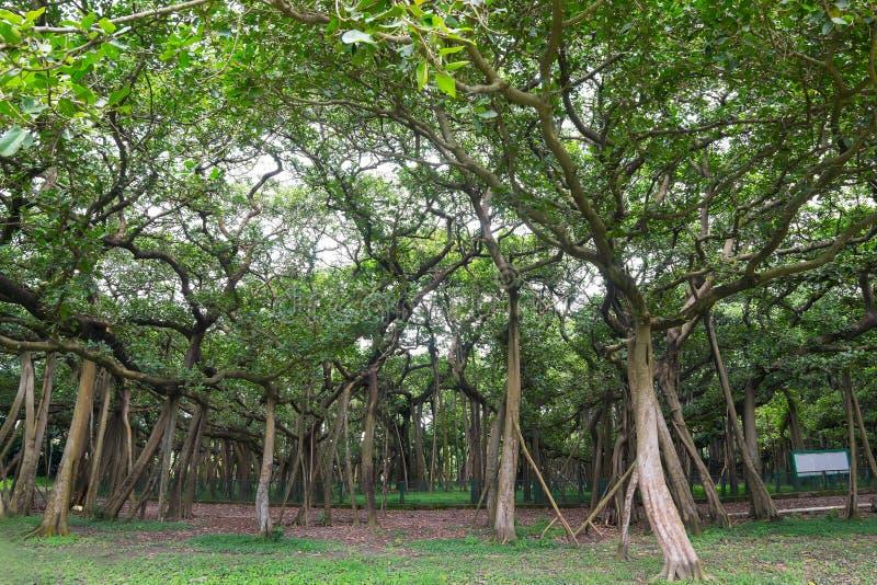 Großer Banyanbaum, Howrah, Westbengalen, Indien stockfotos