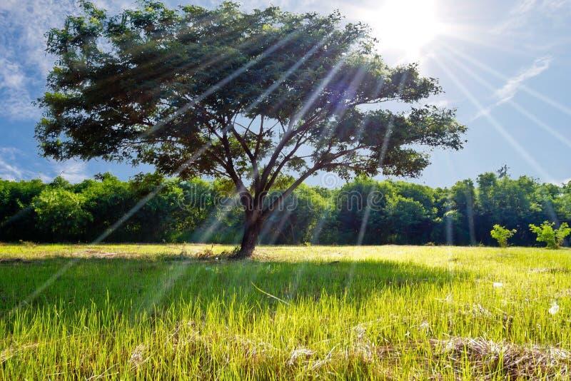 Großer Baum auf dem grünen Feld mit blauem Himmel auf dem Hintergrund stockfotografie