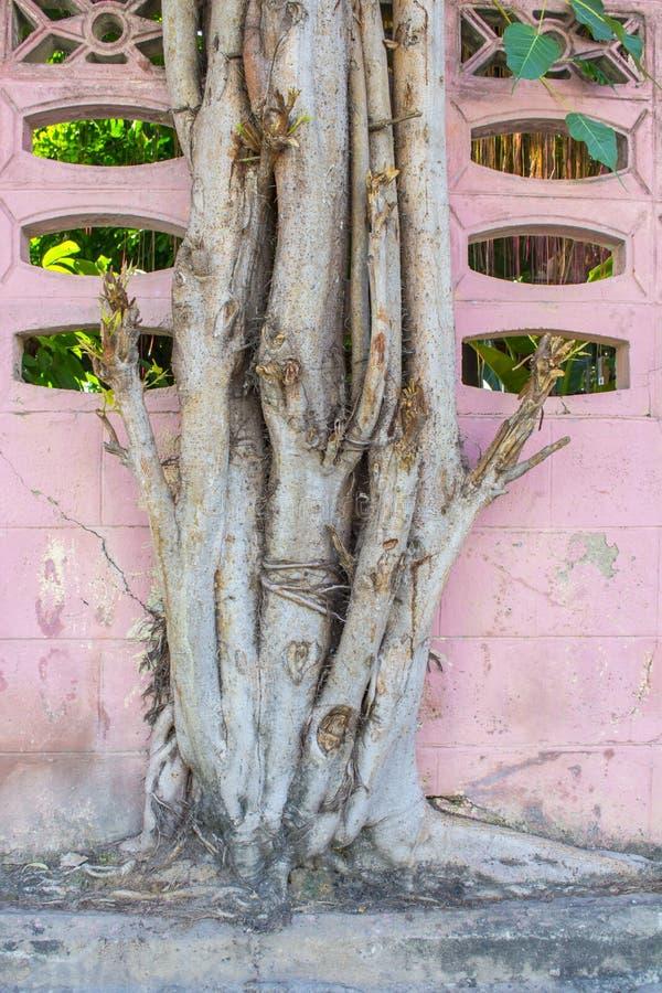 Großer Baum, der auf bunter rosa Wand wächst lizenzfreie stockfotos