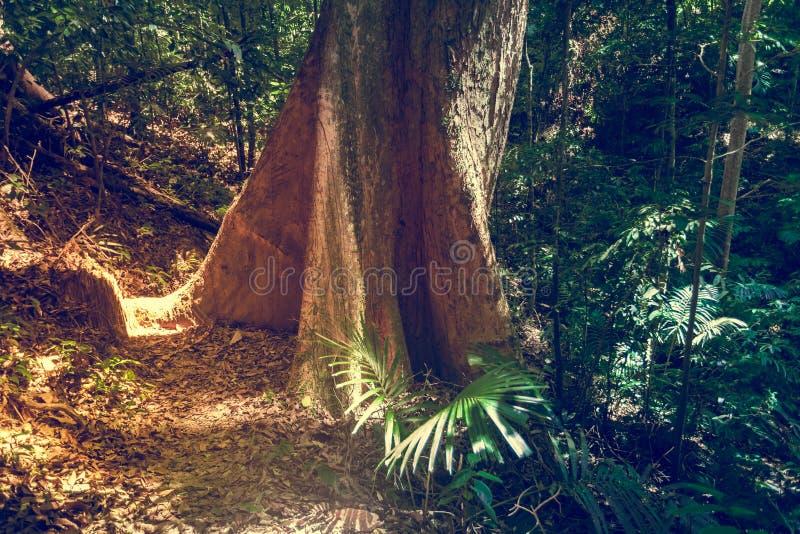 Großer Baum im Dschungelregenwald Naturhintergrund lizenzfreie stockfotografie