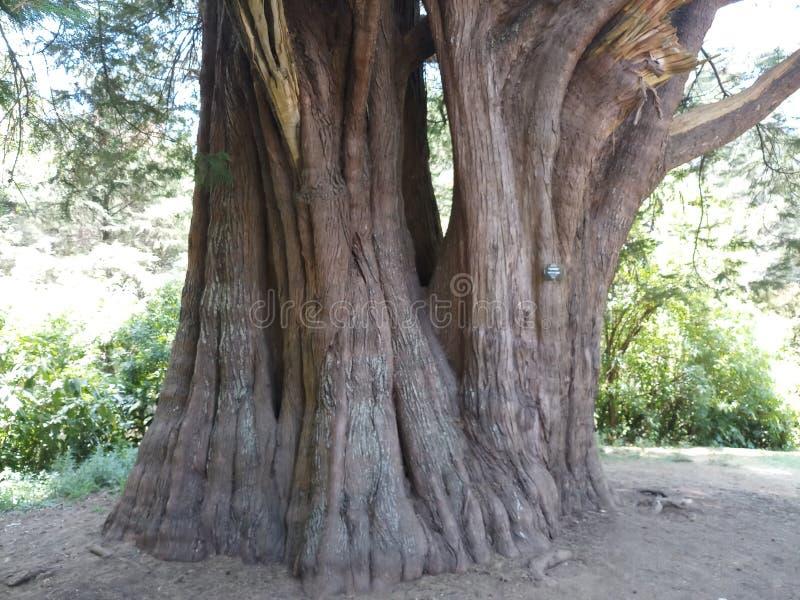 Großer Baum im natürlichen Garten lizenzfreies stockbild